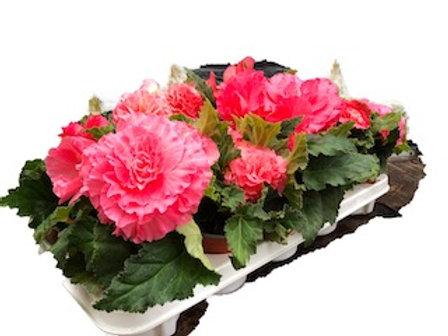 Begonia Nonstop - Pink