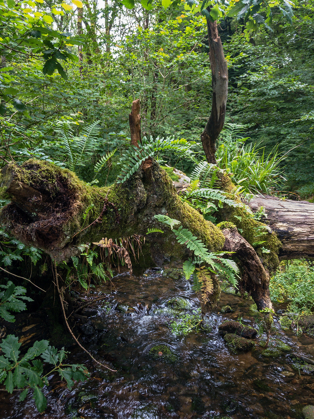 Enchanted woodland with ferns and moss growing on a fallen tree