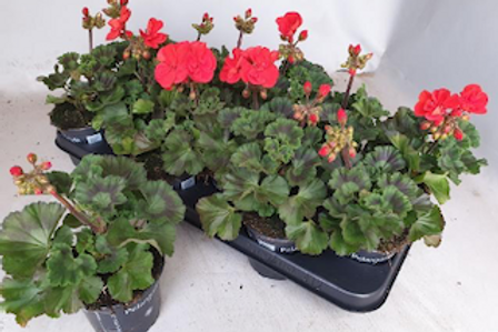 Geraniums - sold 15 per tray