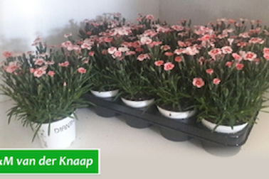 Dianthus Mixed Peach Party