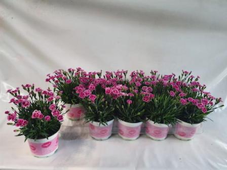 Dianthus Mixed Pink Kisses