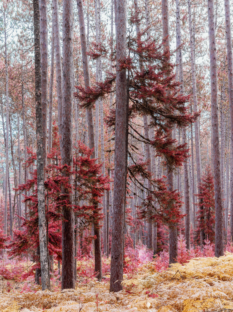 Autumn in Cathedral Pines, Eustis, ME