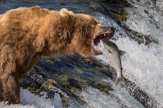 NIPA1617R4_PDI_064_C_MNPC_4_Brown_Bear,_Brooks_River_Falls,_Katmai_National_Park_Ian_Lyons.jpg