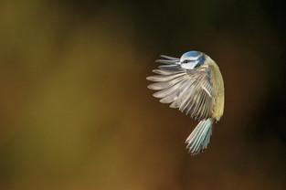 """""""Blue Tit"""" by Hugh Wilkinson"""