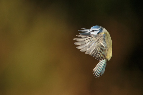 """Blue Tit"" by Hugh Wilkinson"