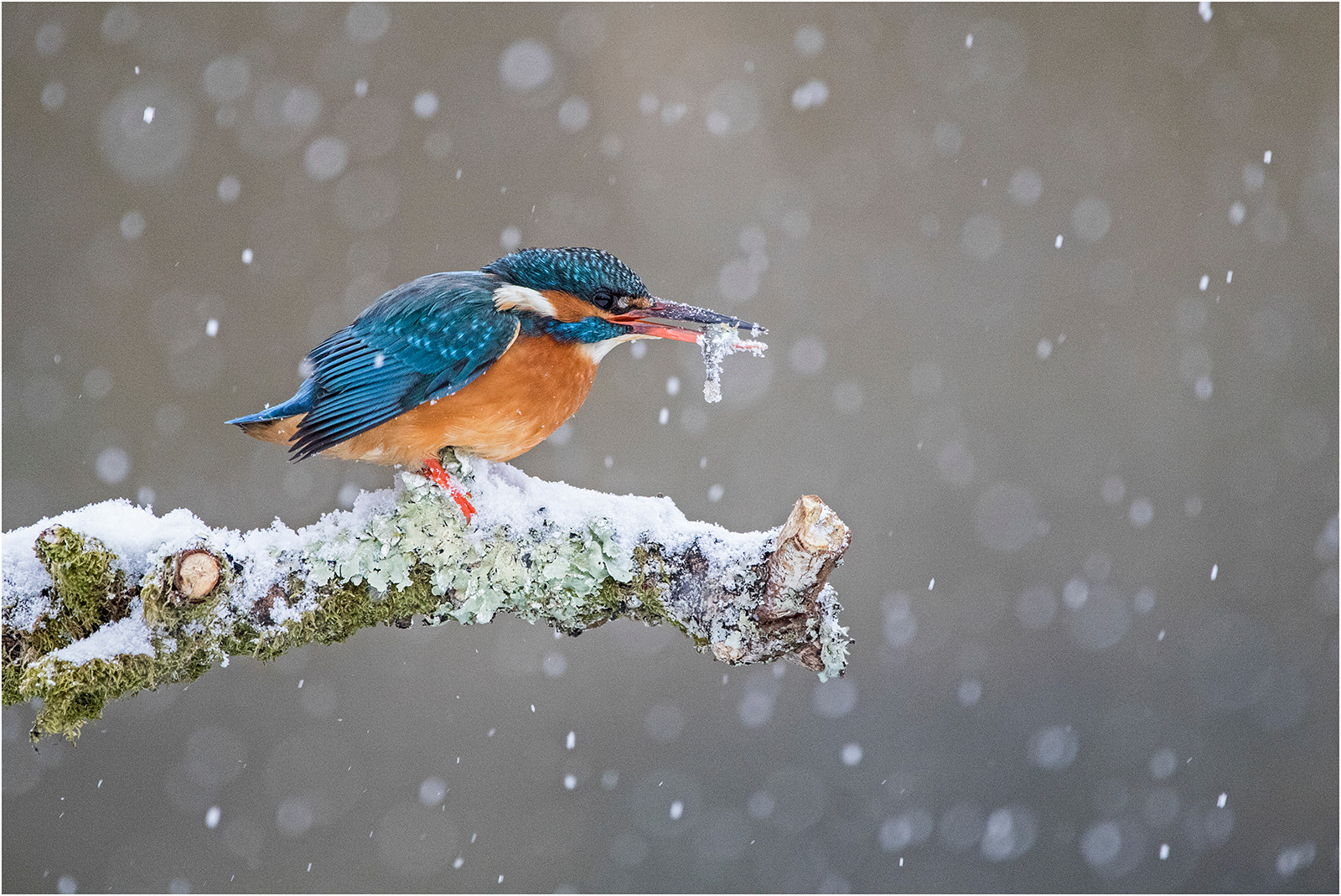 COLOUR - Kingfisher with Fish in Snow by Jenny Hibbert (15 marks)