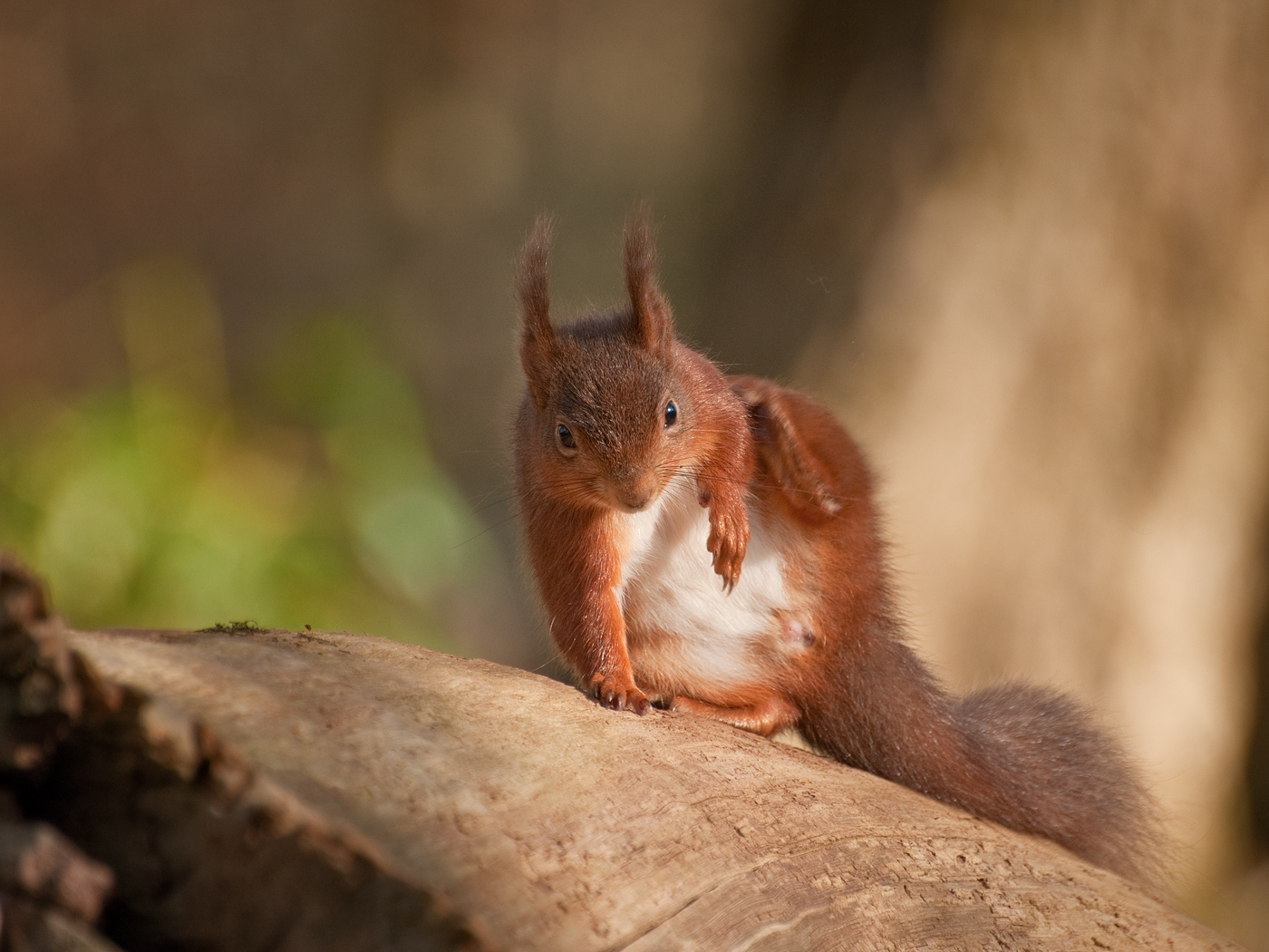 086 Scratching Red Squirrel.jpg