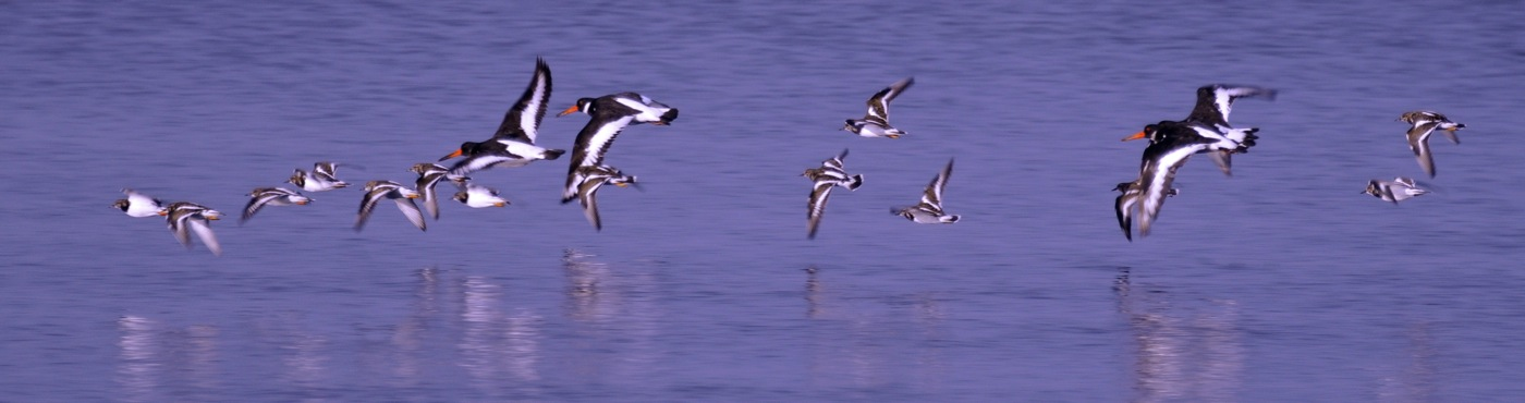 049 Turnstones_Oystercatchers.jpg