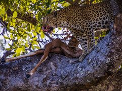 """""""Lip Licking Leopard"""" by Sam Young"""