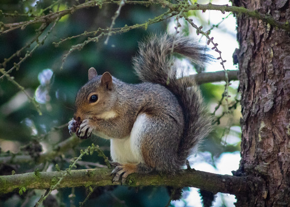 PDI - Grey Squirrel eating a pine cone by Jacqueline Agnew