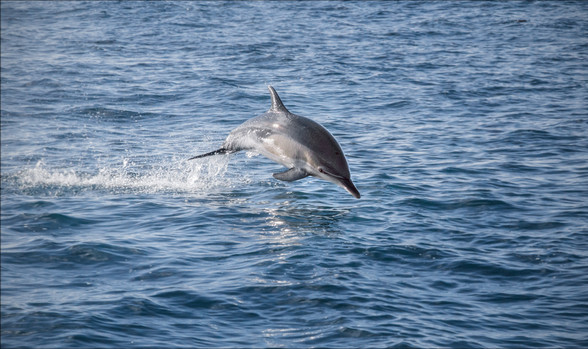 45 - IPF - Common Dolphin by Catherine Bushe ( 31 marks )