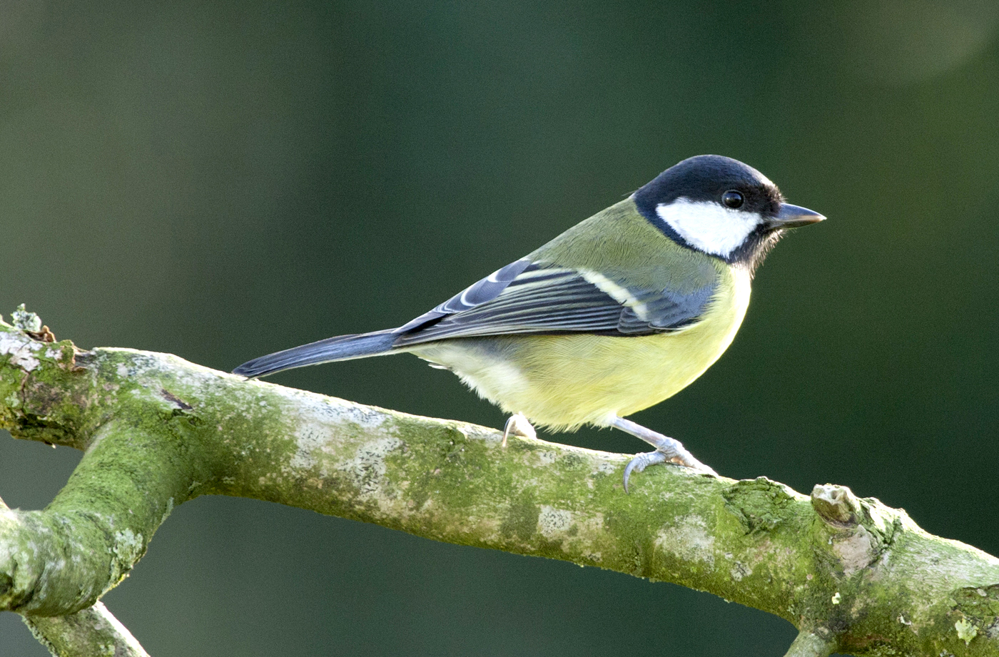 025  GREAT TIT..jpg