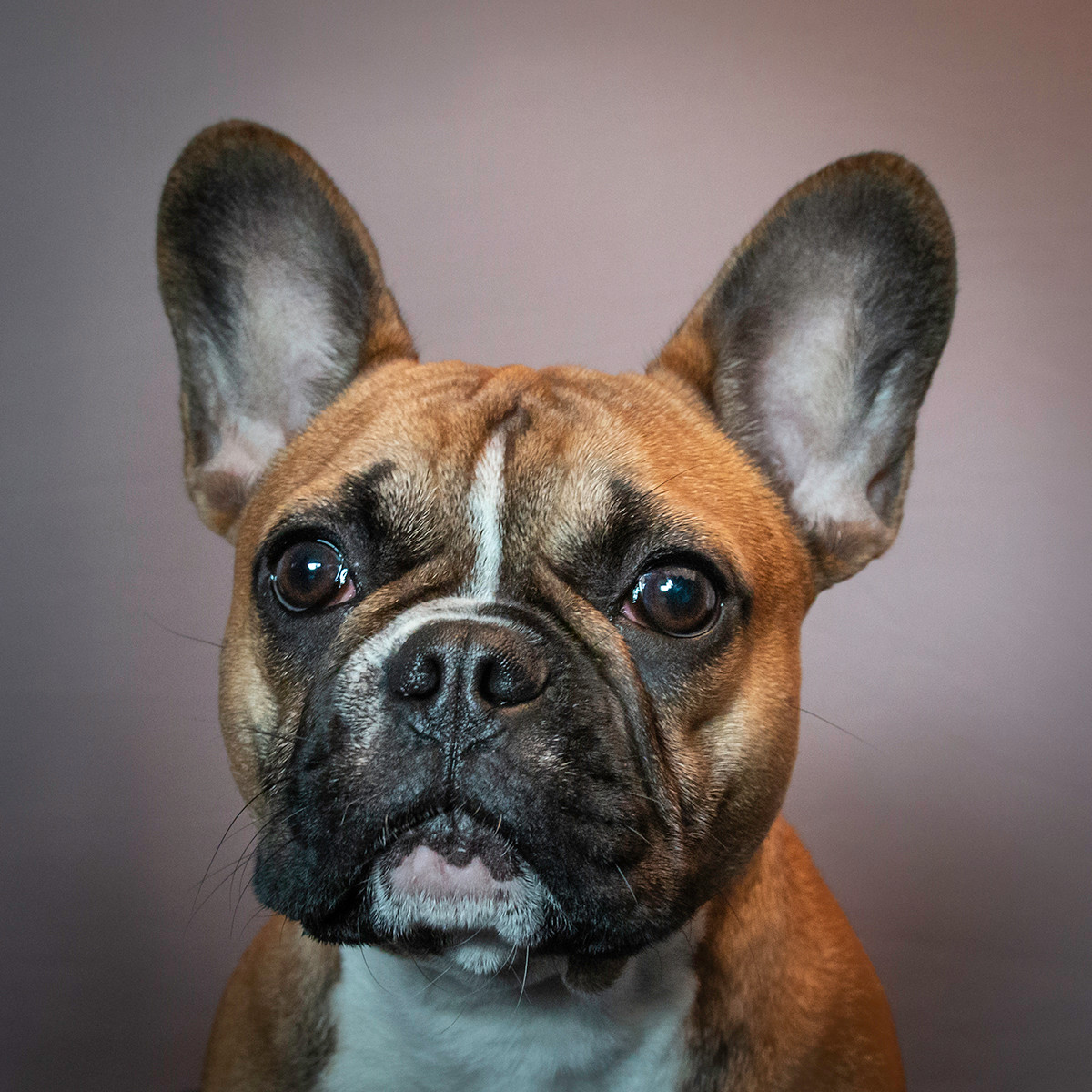 PDI - Fancy Frenchie by Chelle McGaughey (9 marks)