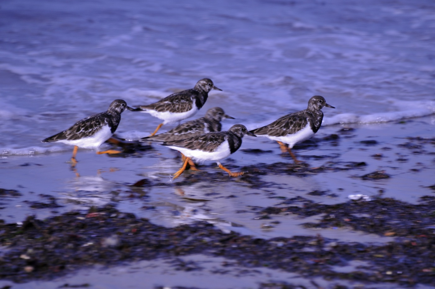 048 Turnstone_[Arenaria_interpres].jpg