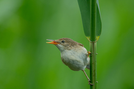 242 - IPF - Reed Warbler singing by Ita Martin ( 37 marks ) - Commended
