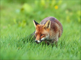 """""""Wild Fox on the Prowl"""" by Vivienne Beck"""