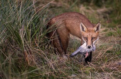 Fox with Quarry