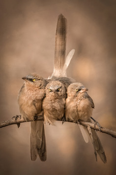 143 - IPF - Jungle Babblers by Ita Martin ( 38 marks ) - Highly Commended