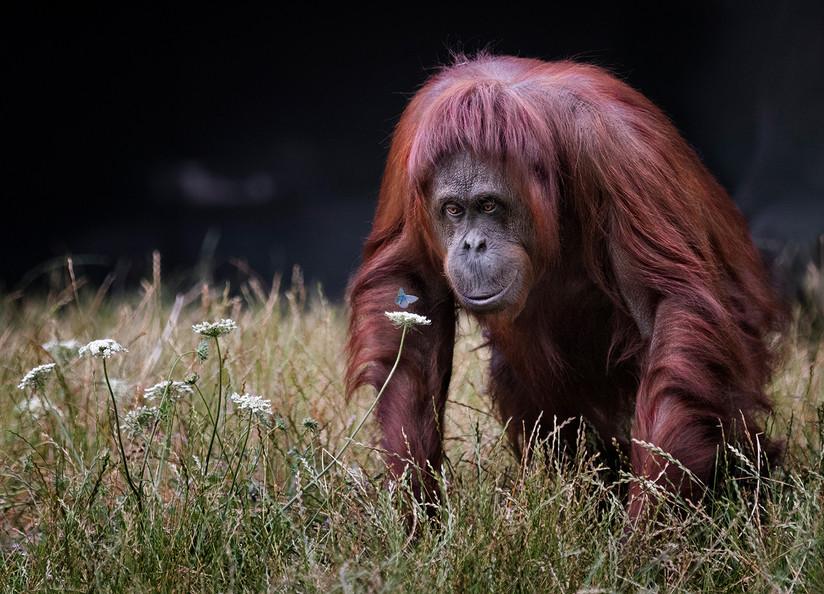 COLOUR - Orangutan with Butterfly by Hugh Wilkinson (20 marks)
