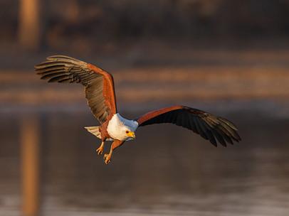 PDI - African Fish Eagle by Chris Millar