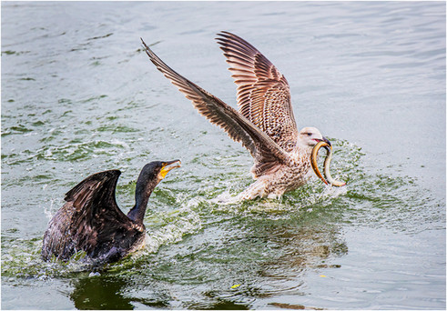 21 - NIPA - Black-Backed Gull Robs Cormorant by Pat McKeefry ( 23 marks )