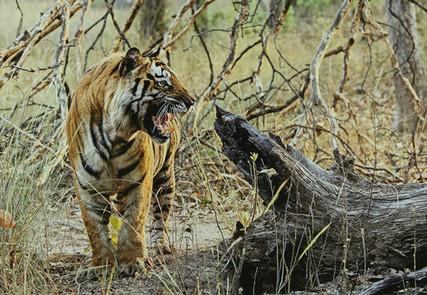 HCom_Bengal Tiger-Chris Millar-Merville.jpg