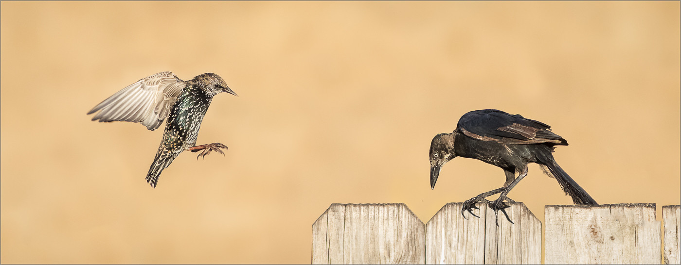 COLOUR - Grackle & Starling in Morning Light by Nick Craddock (17 marks)