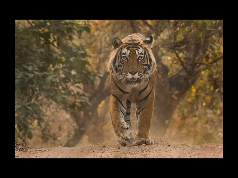 PDI - The Approaching Tiger by Sue Blythe (16 marks)