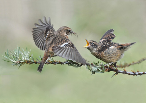 271 - IPF - Stonechat with fledgeling by Mary Twomey ( 38 marks ) - Highly Commended