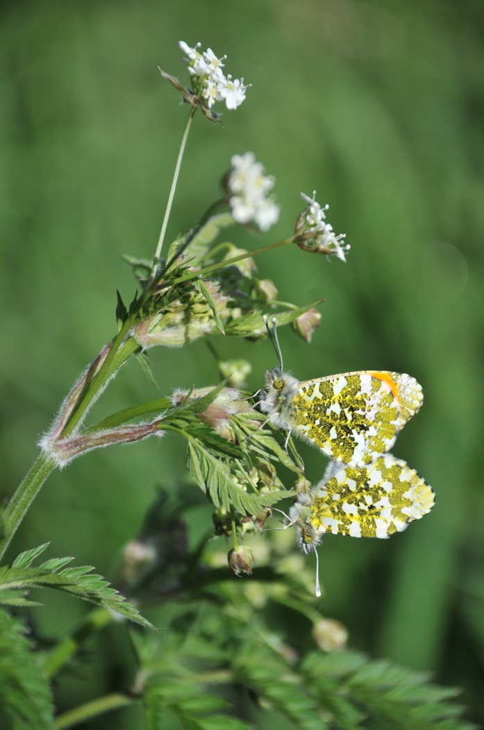 043 Orange_Tip_[Anthocharis_cardamines].jpg