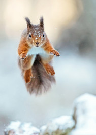 157 - IPF - Leaping Squirrel by Tom Ormond ( 37 marks ) - Commended