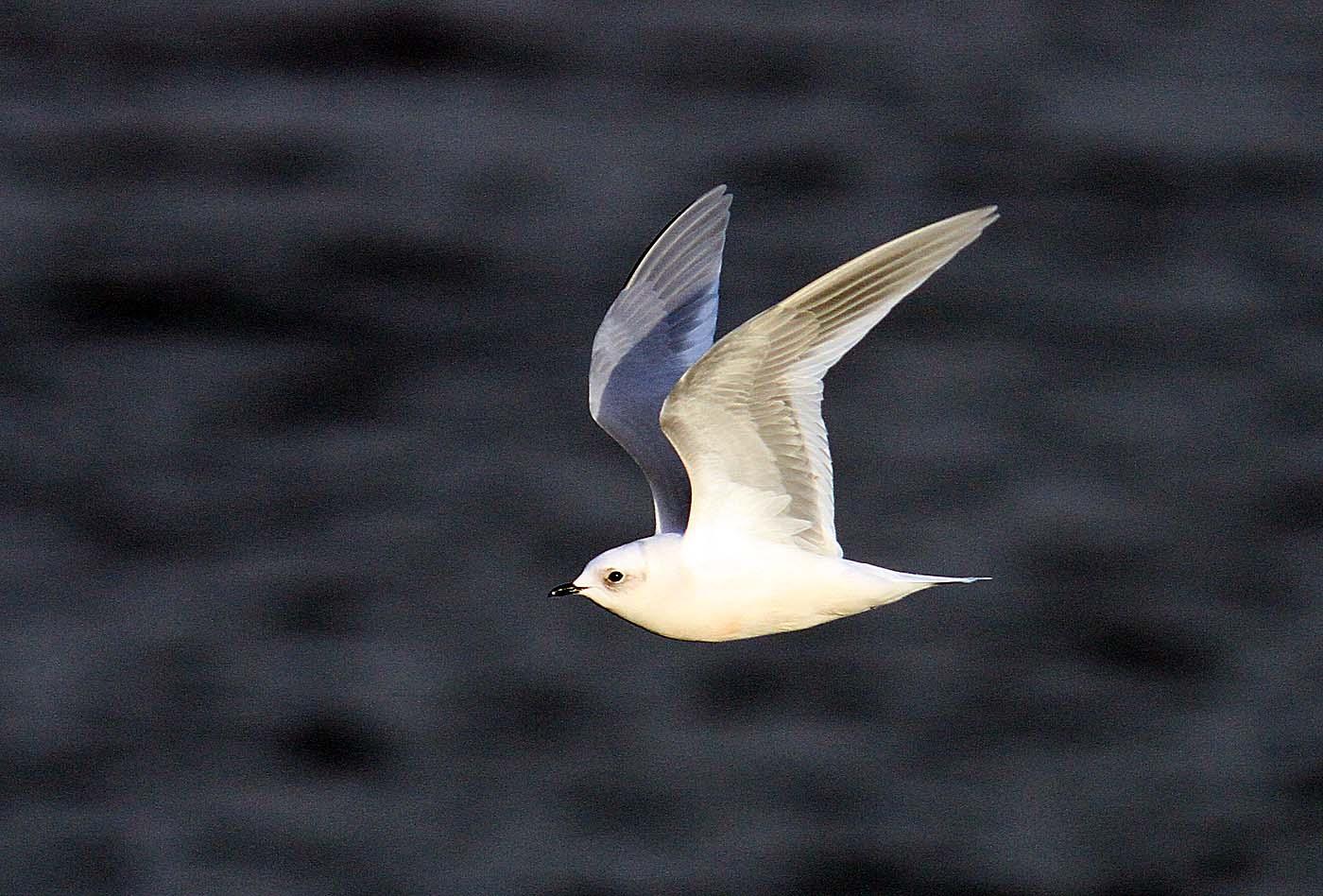 021 Ross's Gull.jpg