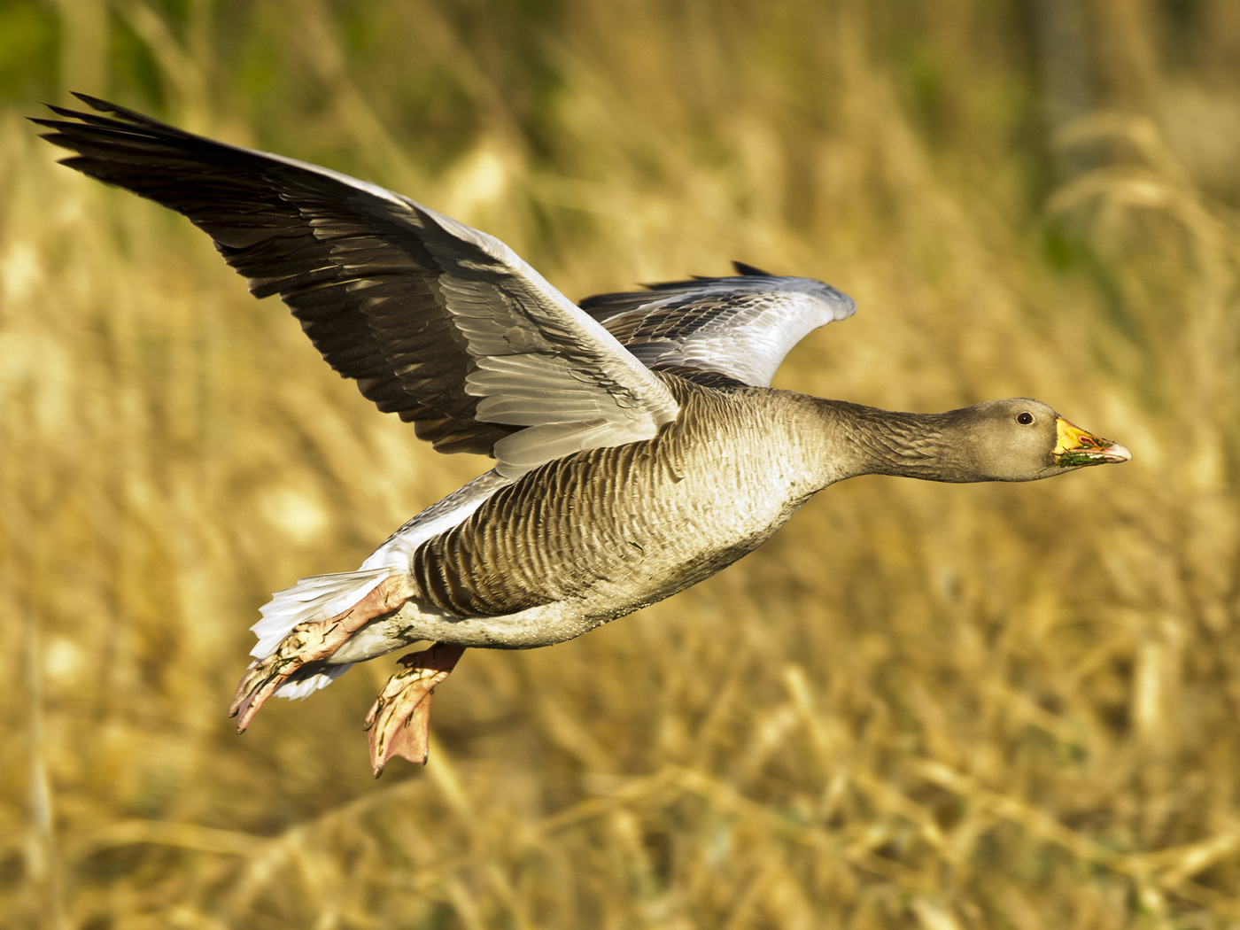 111 Goose in flight.jpg