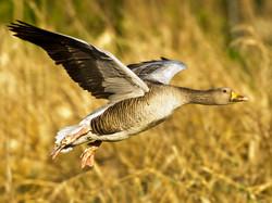 111 Goose in flight.jpg