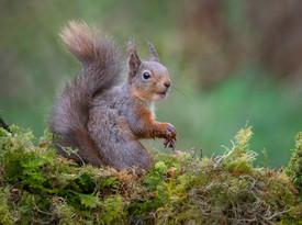 PDI - Red Squirrel by Valerie McKee