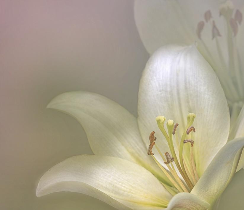 PDI - Soft Lily by Ann Doherty (16 marks)
