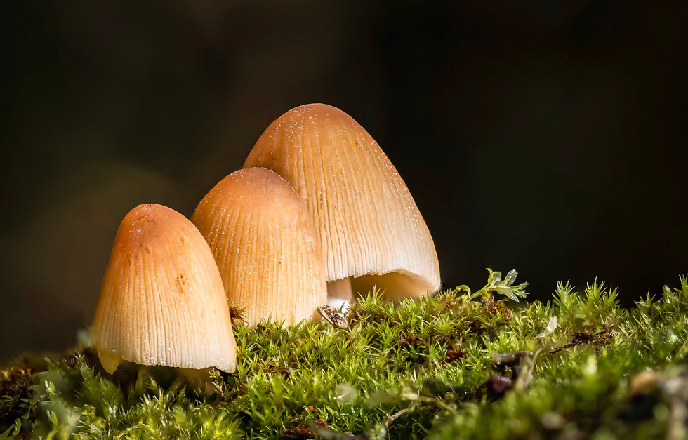 COLOUR - Fungi Trio by Vittorio Silvestri (11 marks)