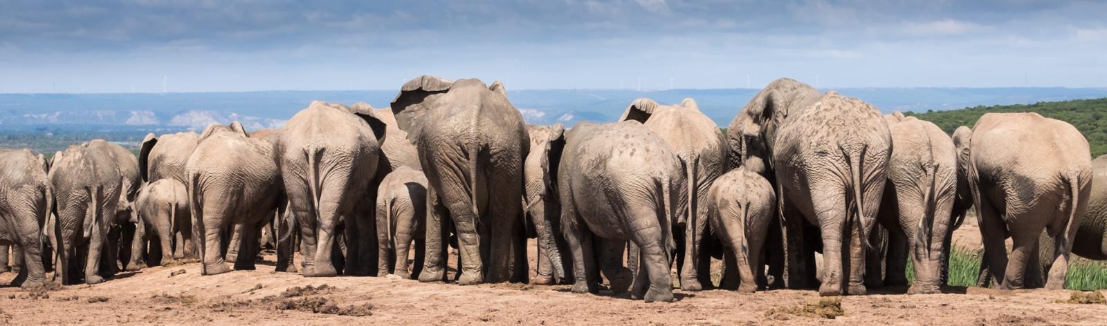 PDI - Elephant Herd by Carrie Mercer