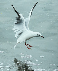 Com_Black Headed Gull-Pat McKeefry-CBPPU.jpg