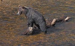 Salmon Hunt
