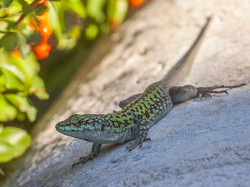 094 Ibla Tree Lizard.jpg