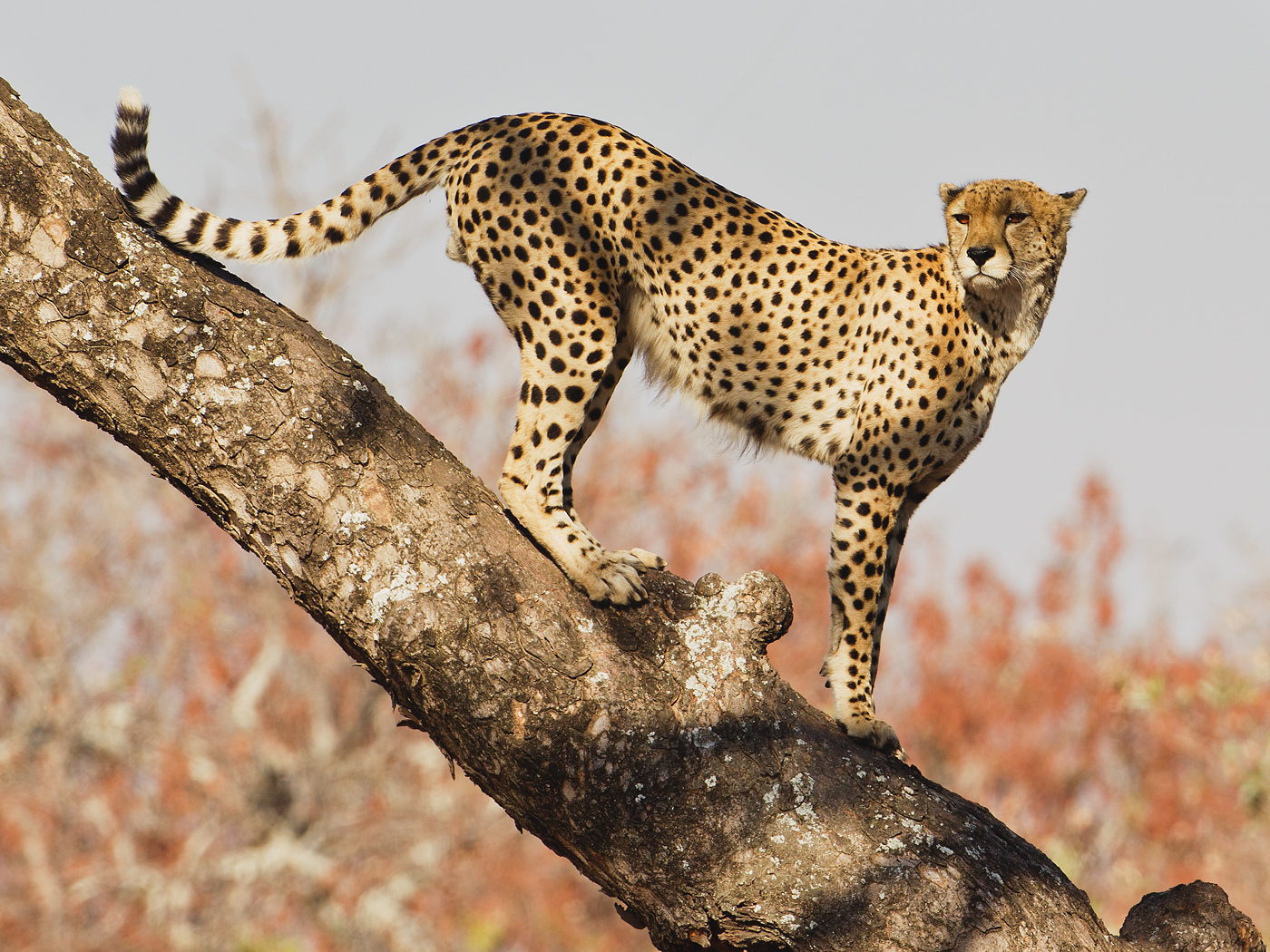 04_1314R1_119_052 C_CKPS_1_Cheetah on tree_Chris Millar.jpg