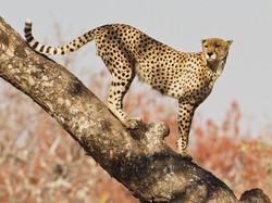 04_1314R1_119_052 C_CKPS_1_Cheetah on tree_Chris Millar.jpg