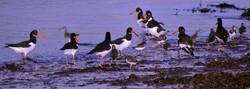 045 Oystercatchers_Turnstones_Redshank.jpg