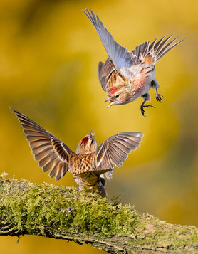 COLOUR - Redpolls Squabble by Hugh Wilkinson (13 marks)