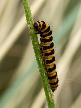 40 - IPF - Cinnabar Moth Caterpillar by Breda McGuigan ( 28 marks )
