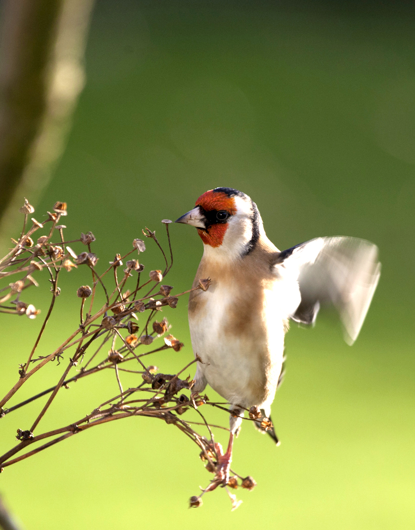 024 GOLDFINCH..jpg