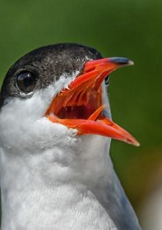 47 - NIPA - Common tern by Albert Boyle ( 22 marks )