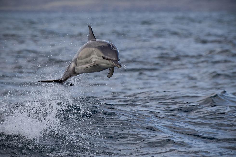 PDI - Bottle Nosed Dolphin by Pamela Wilson (18 marks)