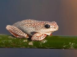 165_156 Okavango reed frog .jpg.jpg